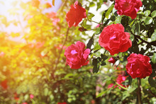 Blooming Bush Of Red Roses And The Sunset