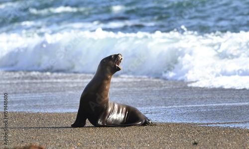Fototapeta premium 20170424 Punta Norte, Półwysep Valdes, Chubut, Argentyna ... Lwy morskie wylądowały ... Zdjęcie: Jan Fleischmann..info @ janwildlifephoto.com .. + 46 (0) 70 590 1774