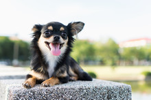 Chihuahua Is Resting After Pla...