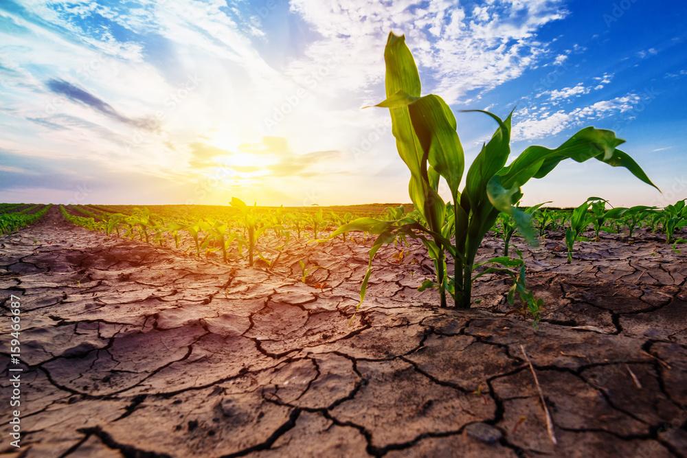 Fototapeta Young corn growing in dry environment
