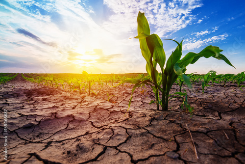 Young corn growing in dry environment