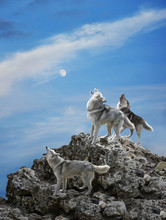 Three Wolves Sing Their Solemn...
