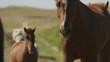 Medium slow motion shot of Icelandic horses approaching. Rangarvallasysla, Iceland