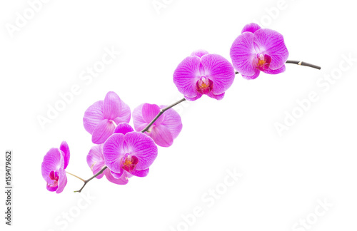 Fototapety, obrazy: Purple orchids isolated on white background.clipping path