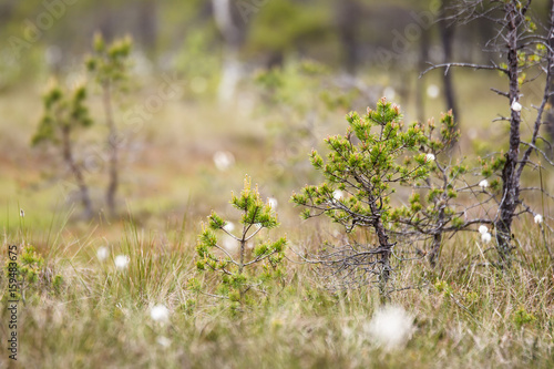 Fotomural Young pine tree of the swamp