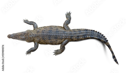 Poster Crocodile Crocodile isolated
