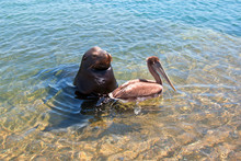 Sea Lion With Pelican On The M...
