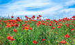 Wonderful poppy field