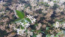 Fresh White Starry Jasmine Flowers With Green Leaves In Background.  Jasmine Of Milk Or Star Jasmine Has A Powerful Refreshing And Springy Aroma. The Flower Sprout In Spring Linked Also To Summer With