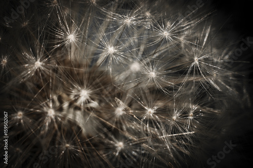 Fototapety, obrazy: Dandellion on the black background