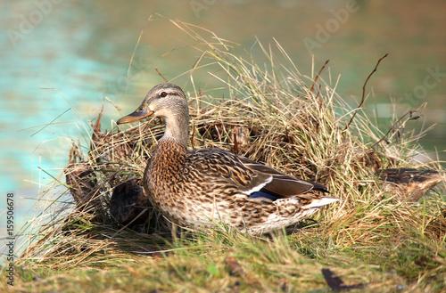 Fotografie, Obraz  Wild duck at a nest
