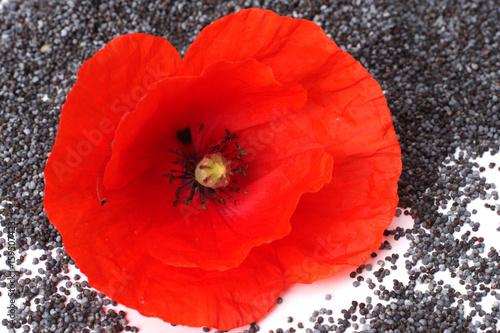 Fotobehang Klaprozen poppy seeds with poppy flower on white background