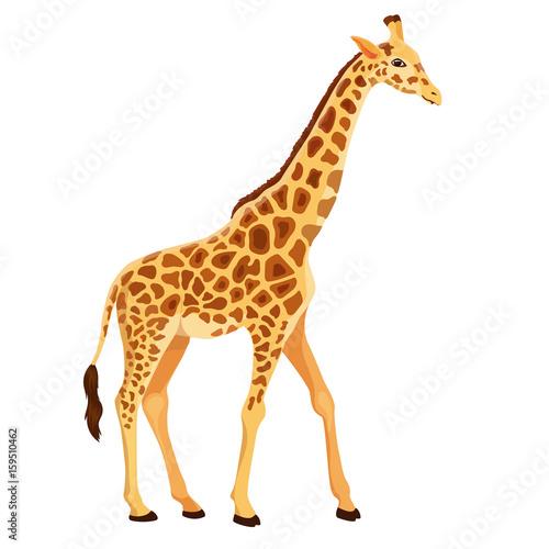 Naklejka premium Żyrafa wektor stojący na białym tle