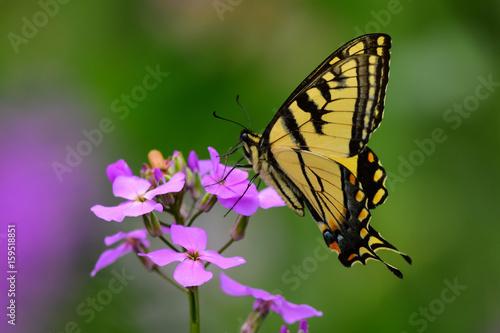Eastern tiger swallowtail butterfly on Dame's Rocket flower
