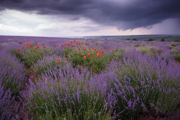 Fototapeta A field of wild lavender, grass and poppies