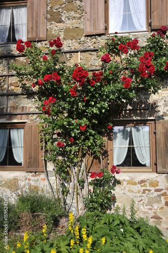 Beliebt Bevorzugt Rosen auf dem Spalier ranken am Haus – kaufen Sie dieses Foto und &HW_66