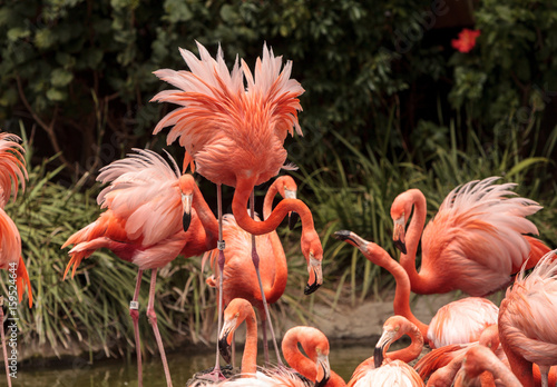 Garden Poster Flamingo Pink Caribbean flamingo, Phoenicopterus ruber