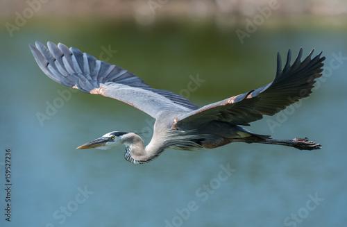 Fotografie, Tablou Great Blue Heron