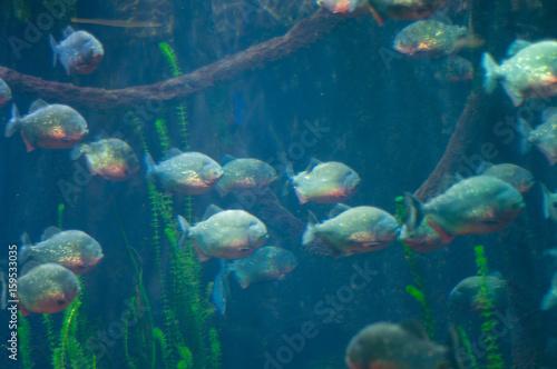 dangerous piranha in the water Canvas-taulu