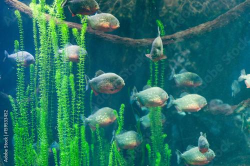 Valokuvatapetti dangerous piranha in the water