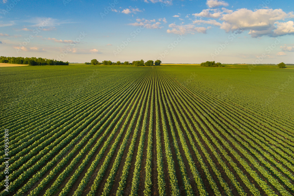 Fototapety, obrazy: Landscape of soybean field in plains