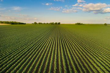 Landscape of soybean field in plains