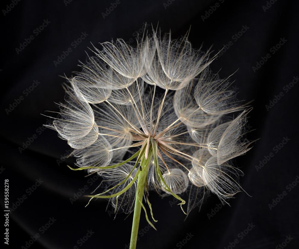 Fototapety, obrazy: Kwiat mniszka lekarskiego