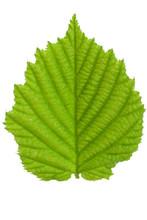 The Leaf Of Hazelnut Isolated ...