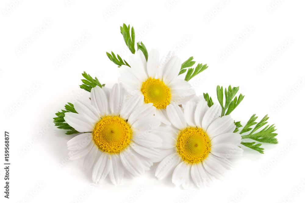 Fototapety, obrazy: Three chamomile or daisies with leaves isolated on white background
