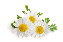 Three Chamomile Or Daisies Wit...