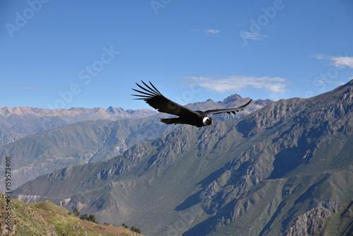 Poster Aigle Condor plannant au dessus du canyon de Colca au Pérou