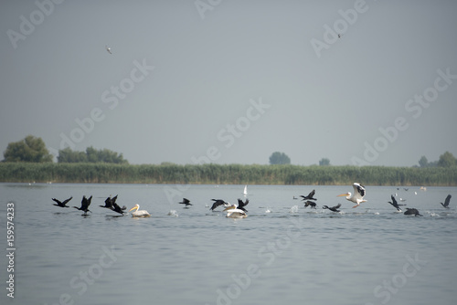 Poster Nautique motorise Landscape with white pelicans in Danube Delta, Romania, in a summer sunny day