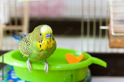 Funny green budgie parrot takes a bath