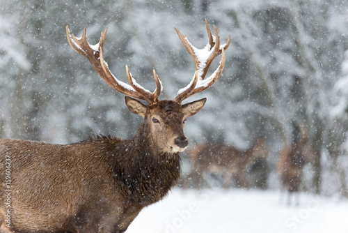Tuinposter Hert Lonely stag with Snowflakes. of a noble red deer, while looking at you in winter time. Wild buck deer with large antlered in the snow. A bulk elk, with a full set of antlers, Belarus, Vitebsk region.
