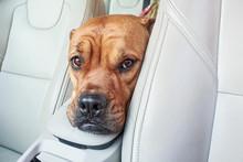 Bored Bullmastiff Dog In Car