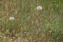 Two Dandelions Among Purple Pr...