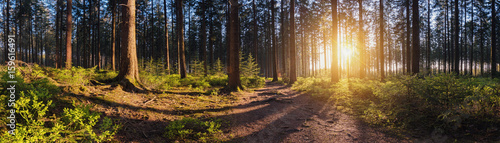 beautiful forest at sunset panroama