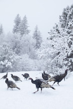 Colorado, Group Of Gobblers Hunting In Snow