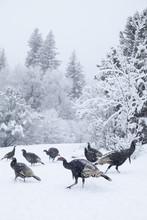 Colorado, Group Of Gobblers Hu...