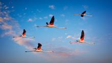 Several Flamingos Fly High At ...
