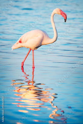 Flamingo on the calm pond with reflections