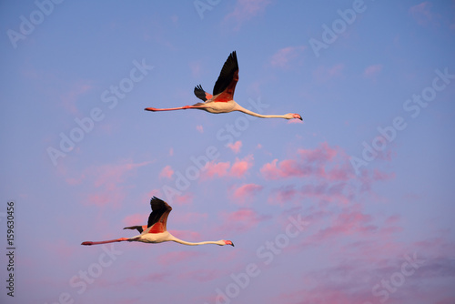 Foto op Aluminium Flamingo Two flamingos flying together