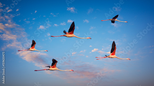 Several flamingos fly high at sunset
