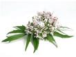 Leinwandbild Motiv Valerian (Valeriana officinalis)