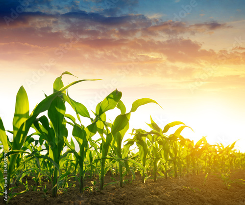 Green corn field in the sunset. Fototapete