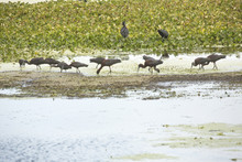 Flock Of Glossy Ibises Feeding...
