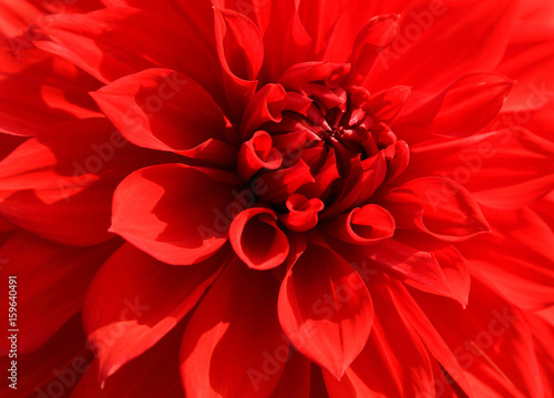 Poster de jardin Dahlia Close up of red dahlia petal for background.