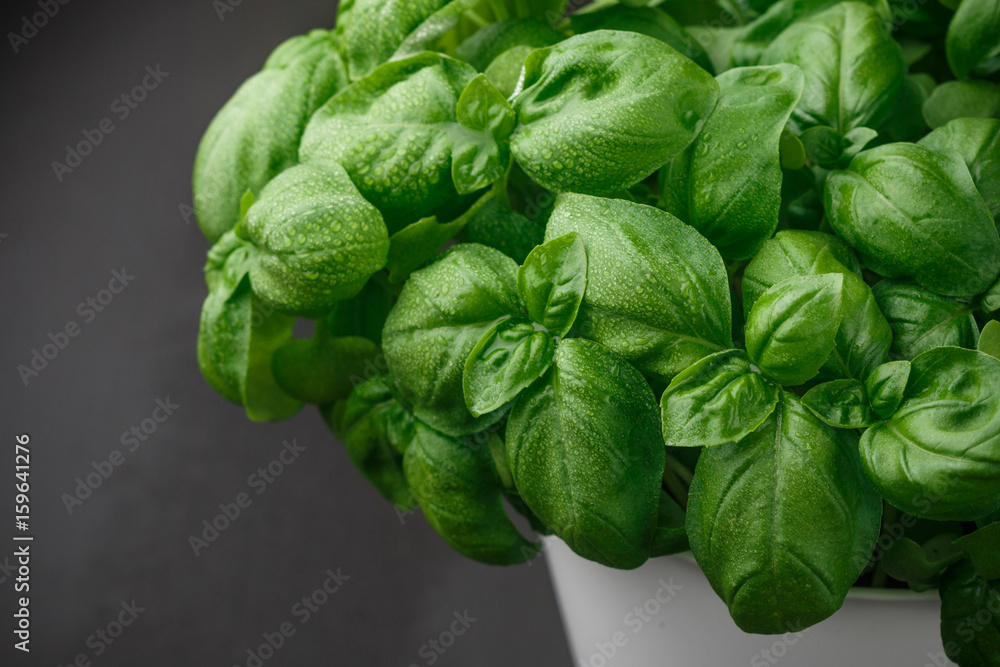 Fototapety, obrazy: Fresh Basil with water drops closeup. Herbs. Selective focus