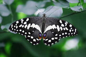 Fototapeta na wymiar butterfly