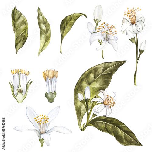 Foto  Satz der botanischen Illustration des Hand gezeichneten Aquarells von frischen gelben Zitronen